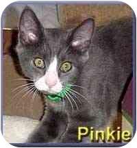 Domestic Shorthair Kitten for adoption in Aldie, Virginia - Pinkie
