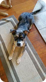 Australian Shepherd Mix Dog for adoption in Salem, Oregon - Rayna