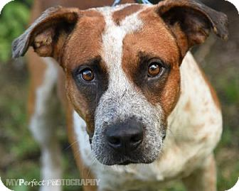 Australian Cattle Dog/Pointer Mix Dog for adoption in Miami, Florida - s/c luke