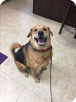 German Shepherd Dog/Mixed Breed (Medium) Mix Dog for adoption in Seville, Ohio - Buck
