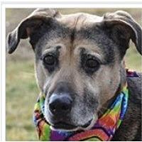 Adopt A Pet :: Shep - Tipp City, OH