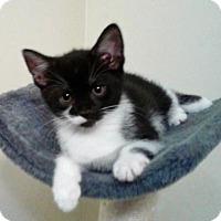 Adopt A Pet :: Capri - Columbus, OH