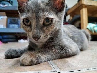 Domestic Shorthair Kitten for adoption in Los Angeles, California - Arya