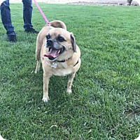 Pug/Beagle Mix Dog for adoption in Fort Collins, Colorado - RUBY