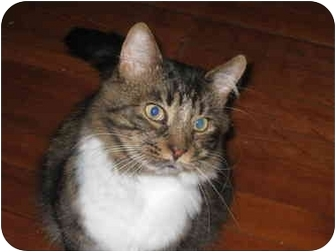 Domestic Shorthair Cat for adoption in Bloomsburg, Pennsylvania - Clyde