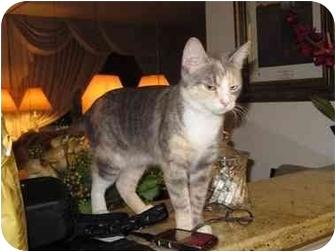 Domestic Shorthair Cat for adoption in Long Beach, New York - Girlie