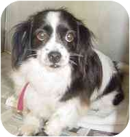 Spaniel (Unknown Type) Mix Dog for adoption in Edwards, Illinois - Benji