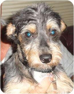 Schnauzer (Miniature)/Silky Terrier Mix Dog for adoption in Santa Ana, California - Baseline