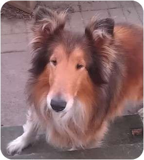 Collie Dog for adoption in Conesus, New York - Bree