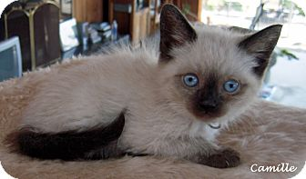 Siamese Kitten for adoption in Mandeville Canyon, California - Camille