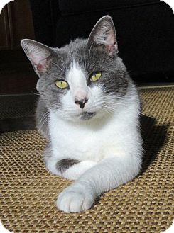 Domestic Shorthair Cat for adoption in Chicago, Illinois - Hudson