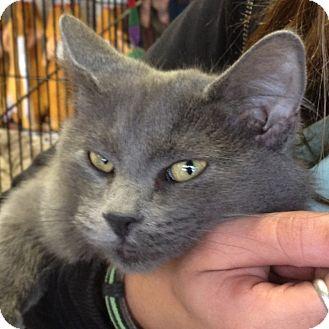 Russian Blue Kitten for adoption in Chandler, Arizona - Cobra