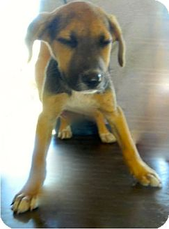 Labrador Retriever/Hound (Unknown Type) Mix Puppy for adoption in Lima, Pennsylvania - Hilda