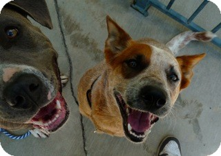Cattle Dog Mix Dog for adoption in Santa Monica, California - Cute Cattle Dog & Blue Pit