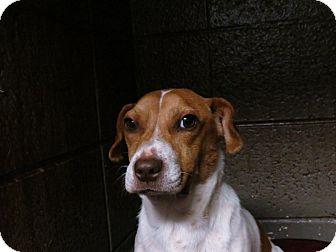 Terrier (Unknown Type, Medium)/Beagle Mix Dog for adoption in Henderson, North Carolina - Tyler