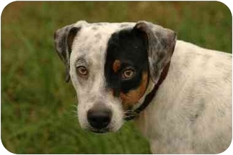 Beagle/Australian Cattle Dog Mix Dog for adoption in Baton Rouge, Louisiana - Jackson