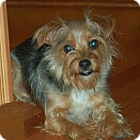 Adopt A Pet :: Scarlette - Charlotte, NC