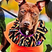 Adopt A Pet :: Rada - Toledo, OH