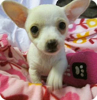 Chihuahua Mix Puppy for adoption in Foster, Rhode Island - Ivory in RI