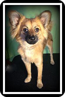 Pomeranian Mix Dog for adoption in Indian Trail, North Carolina - Jasper