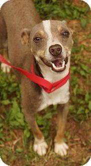 Italian Greyhound/Chihuahua Mix Dog for adoption in Newark, Delaware - Roo