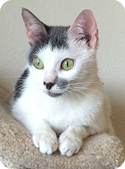 Domestic Shorthair Cat for adoption in Snohomish, Washington - Patches - Petite Sweetheart!
