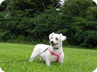 Bichon Frise Mix Dog for adoption in Mentor, Ohio - Tami