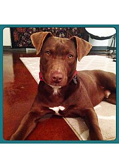 Labrador Retriever Mix Dog for adoption in Eden Prairie, Minnesota - Zeke