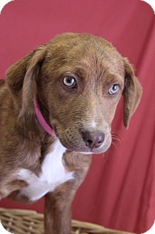Australian Shepherd Mix Puppy for adoption in Waldorf, Maryland - Amber