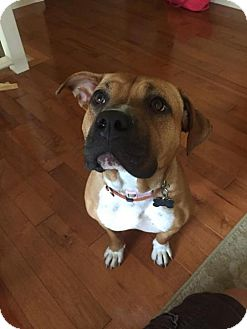 Boxer Mix Dog for adoption in Cool Ridge, West Virginia - Tammy