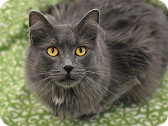 Domestic Mediumhair Cat for adoption in Great Falls, Montana - Layden