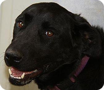 Labrador Retriever Dog for adoption in Lovingston, Virginia - Lucy