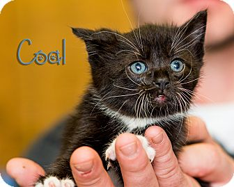 Domestic Shorthair Kitten for adoption in Somerset, Pennsylvania - Coal