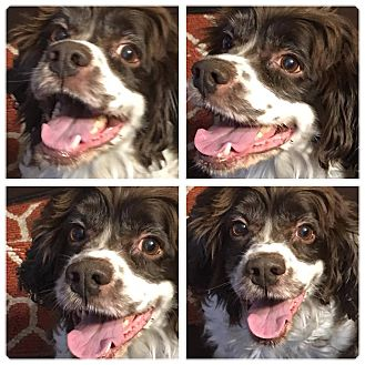 Cocker Spaniel Dog for adoption in Cape Coral, Florida - Fisher