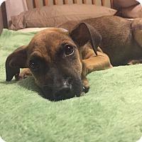 Adopt A Pet :: Lando - Middlesex, NJ