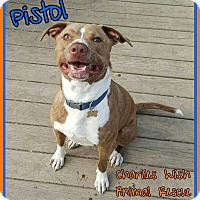 Adopt A Pet :: Pistol - Pataskala, OH