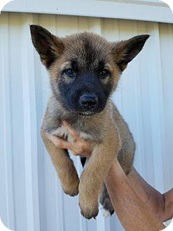 German Shepherd Dog Mix Puppy for adoption in Portland, Oregon - Aloha