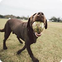 Adopt A Pet :: Beavis - Nanuet, NY