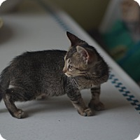 Adopt A Pet :: Mittens - Brooklyn, NY