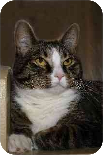 Domestic Shorthair Cat for adoption in Hendersonville, Tennessee - Lotus