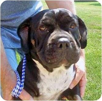 Basset Hound/American Bulldog Mix Dog for adoption in Marseilles, Illinois - Beatrice