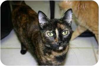 American Shorthair Cat for adoption in Lake Ronkonkoma, New York - Gina