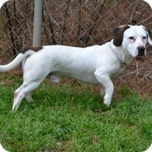 Basset Hound/Terrier (Unknown Type, Medium) Mix Dog for adoption in Athens, Georgia - Pig