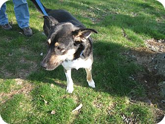 German Shepherd Dog Mix Dog for adoption in Greeneville, Tennessee - Ginny