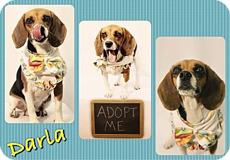 Beagle Mix Dog for adoption in Corpus Christi, Texas - Darla