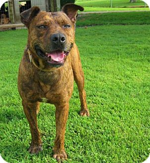Pit Bull Terrier Mix Dog for adoption in Cincinnati, Ohio - Tigger