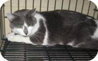 Domestic Shorthair Cat for adoption in Stillwater, Oklahoma - Stewie