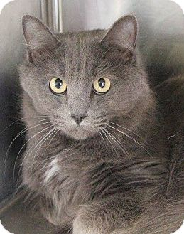 Domestic Longhair Cat for adoption in Weatherford, Texas - Shooter