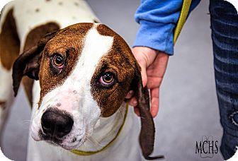 Bloodhound/Basset Hound Mix Dog for adoption in Martinsville, Indiana - Rosco