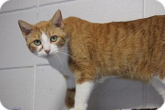 Domestic Shorthair Cat for adoption in Midland, Michigan - Karisma